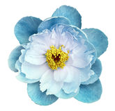 Peony flower turquoise on a white isolated background with clipping path. Nature. Closeup no shadows. Garden Stock Image
