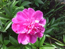 peony flower is very large dark pink pretty Stock Images