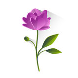 Peony Flower Violet Green Leaf Isolated Royalty Free Stock Photo