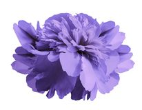 Peony flower violet on isolated white background with clipping path no shadows. Close-up. For design. Nature Royalty Free Stock Photography