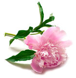 Peony flower on white. Pink peony flower on white background. isolated Stock Images