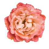 Peony flower on white background, artificial colors royalty free stock images