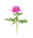 Peony flower on a white background Royalty Free Stock Images