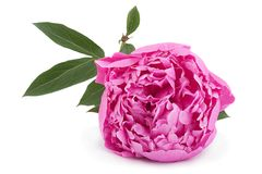 Peony flower on white Stock Photography