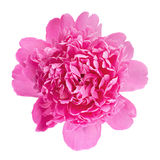 Peony flower on white Royalty Free Stock Photography