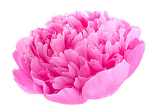 Peony flower on white Royalty Free Stock Images