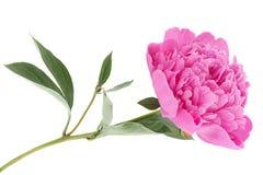 Peony flower on white royalty free stock photo