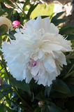 Peony flower with white petals on the bush Royalty Free Stock Photography