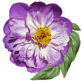 Peony flower white-pink on a white isolated background with clipping path. Nature. Closeup no shadows. Garden Stock Photography