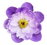Peony flower white-purple on a white isolated background with clipping path. Nature. Closeup no shadows. Stock Photos