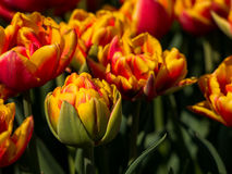 Peony-flowered orange and red tulips in field Stock Photography