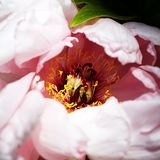 Pink Peony. Peony, a flowering and Graceful and wealthy plant unique in China stock images