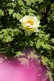 Yellow Peony. Peony, a flowering and Graceful and wealthy plant unique in China royalty free stock photo