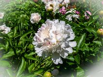 Showy White Peony Blossom. The peony is a flowering plant in the genus Paeonia, the only genus in the family Paeoniaceae. They are native to Asia, Europe and royalty free stock photos