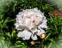 Showy White Peony Blossom. The peony is a flowering plant in the genus Paeonia, the only genus in the family Paeoniaceae. They are native to Asia, Europe and royalty free stock photo