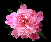 The Peony Stock Photos