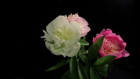 Peony Flowering Timelapse 4k. Isolated Flowers blooming timelapse in 4k stock footage