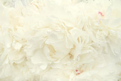Peony flowers. Background from white colours of a peony Royalty Free Stock Photography