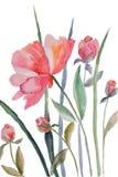 Peony flowers stock illustration