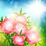 Peony flowers Stock Photography