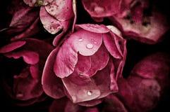 Free Peony Flowers Royalty Free Stock Photos - 40443758