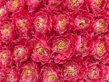 Peony Flowers Background Royalty Free Stock Image