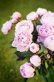Peony flowers. Beautiful pink peony flowers in the garden Royalty Free Stock Images