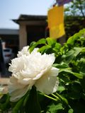 Peony flowers blossoming in a sunny spring day. Peony flowers blossoming in a sunny spring weekend day with fullfilled activity stock image