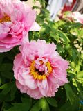 Peony flowers blossoming in a sunny spring day. Peony flowers blossoming in a sunny spring weekend day with fullfilled activity royalty free stock photos