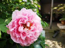 Peony flowers blossoming in a sunny spring day. Peony flowers blossoming in a sunny spring weekend day with fullfilled activity royalty free stock photo