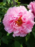 Peony flowers blossoming in a sunny spring day. Peony flowers blossoming in a sunny spring weekend day with fullfilled activity stock photos