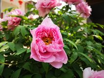 Peony flowers blossoming in a sunny spring day. Peony flowers blossoming in a sunny spring weekend day with fullfilled activity stock images