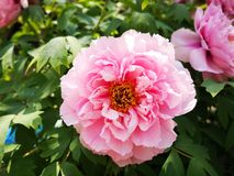 Peony flowers blossoming in a sunny spring day. Peony flowers blossoming in a sunny spring weekend day with fullfilled activity royalty free stock photography