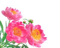 Peony Flowers Bouquet over white Royalty Free Stock Photo
