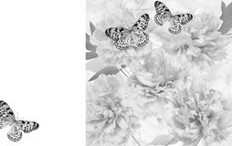 Peony flowers with butterfly. On white background Stock Photos