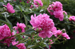 Peony flowers. Close-up. Pink peony flowers with green leaves. Close-up Royalty Free Stock Photography