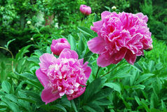 Peony flowers Royalty Free Stock Photo
