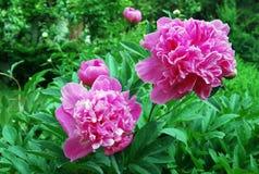 Peony flowers Royalty Free Stock Photo