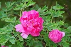 Peony flowers Royalty Free Stock Image