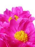 Peony flowers detail Royalty Free Stock Photos