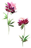 Peony flowers drawing by watercolor Stock Image