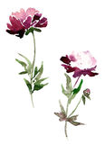 Peony flowers drawing by watercolor Stock Photography