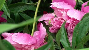 Peony flowers with drop of water after rain. Macro. A narrow zone of sharpness.