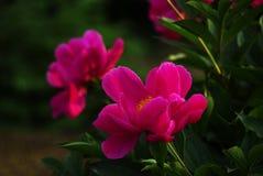 Peony flowers. Flower language - Yiyi farewell, hard to share, sincere change Stock Photos