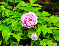 Peony flowers flowering. A pink peony flower bud going to bloom and a flower flowering inside Jingshan Park Beijing China Stock Images