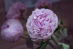 Free Peony Flowers - Many Layered Petals. Bunch Pale Pink Peonies. Wa Stock Photos - 118553293