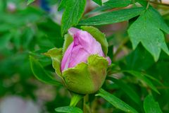 Peony flowers pink rare blooming on a background of pink peonies. P. Eonies garden royalty free stock photo