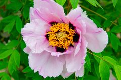 Peony flowers pink rare blooming on a background of pink peonies. Peonies garden royalty free stock photography