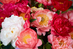 Peony flowers in red, colors background Royalty Free Stock Images