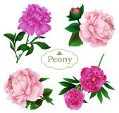 Peony flowers set isolated on a white background Royalty Free Stock Image